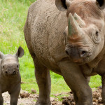 Baby-black-rhino-at-Port-Lympne-c-Dave-Rolfe1