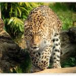 General-Leopard-Image