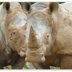 KOW-Rhino---Bill-Hutchings-web