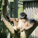 Lar-Gibbon-Ulu-enjoys-the-sun-at-Drusillas-Park
