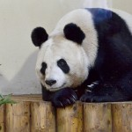 Tian-Tian-Giant-Panda-at-Edinburgh-Zoo