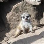 dzg_baby_meerkat2_web