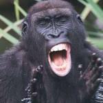 gorilla-379624