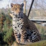 jaguar-rica