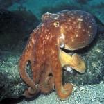 lesser-octopus